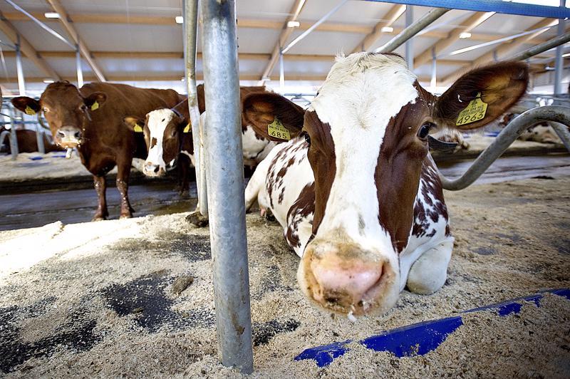 Monella nivalalaistilalla lehmät ovat lypsäneet laadukasta maitoa jo vuosikymmeniä.