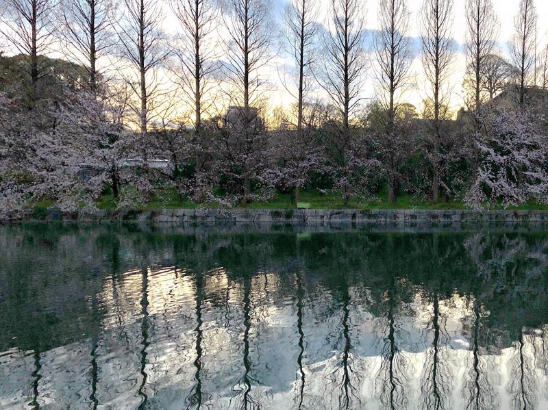 Sakuran kukintaa Osaka Castle Parkissa.