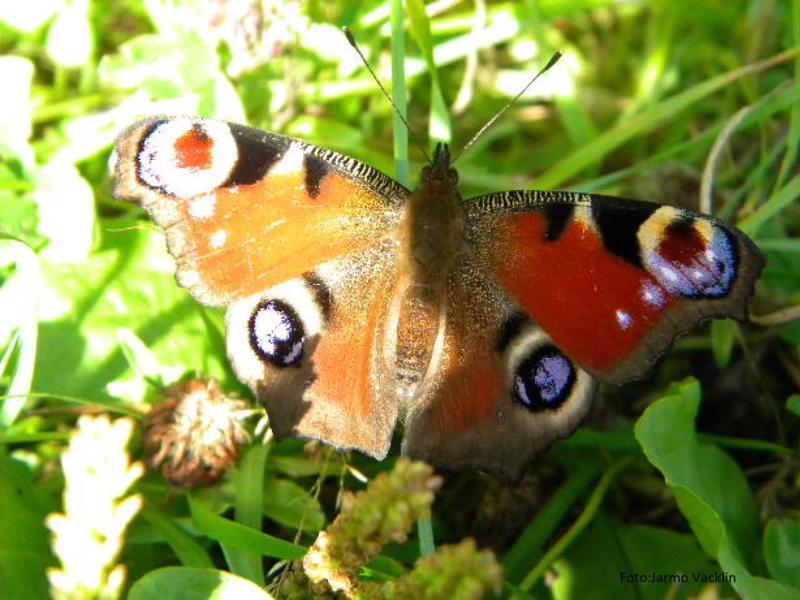 Neitoperhonen heräilee horroksesta hieman nokkosperhosen jälkeen.
