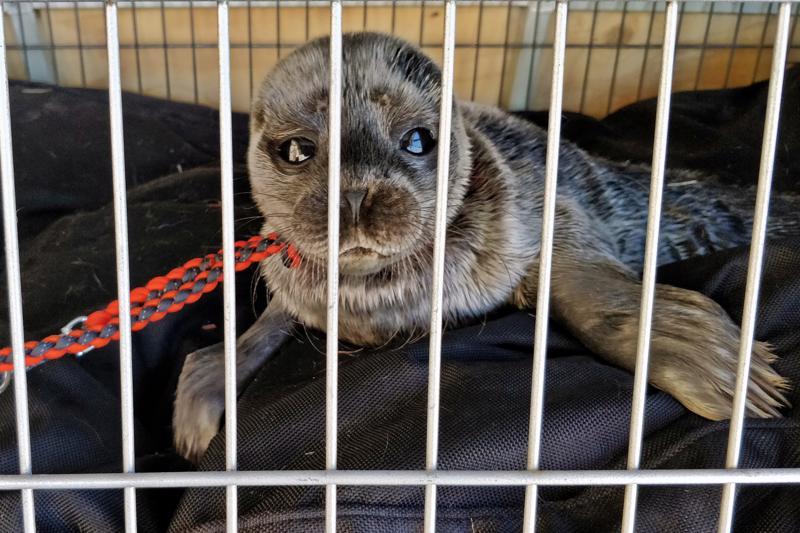Emonsa vierottama Itämeren norpan poikanen löydettiin alkuviikosta Skutnäsin rannalta. Nyt kuutti  elpyy seikkailustaan Korkeasaaren villieläinsairaalassa.