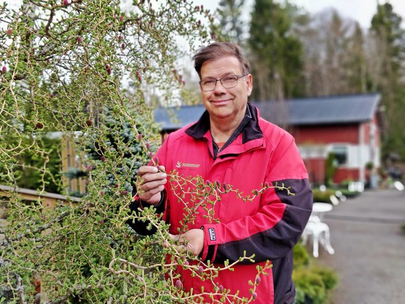 Leif Blomqvistin taimistolla kasvaa tuhansia lajikkeita. Kaksitoistavuotias lehtikuusi  on taimiston oma asukas, joka on korkkiruuveineen koristeellinen näky.