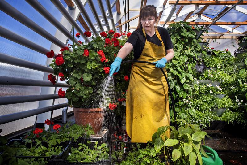 Kaupungin kasvihuonetta komistaa 45-vuotias pelargonia, jonka pistokkaita hyödynnetään kesäkukkaistutuksissa.
