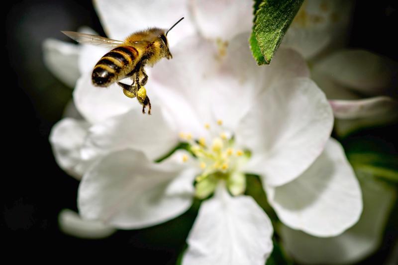 Mehiläinen on tärkeä pölyttäjähyönteinen.