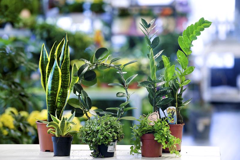 Kannuksen ja Toholammin kirjastoissa vaihdetaan kasveja.