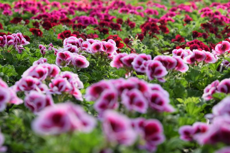 Tervon puutarhalla kasvatetaan itse valtaosa kukista ja taimista. Pelargonian keväistä väriloistoa.