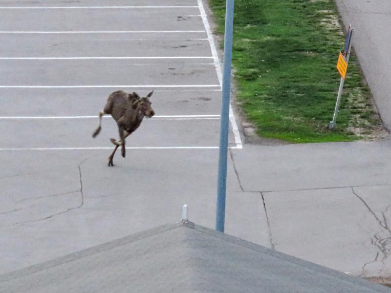 Hirvi juoksenteli torstai-iltana Ylivieskan keskustassa. Lukijan kuva.