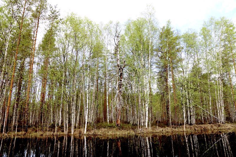 Jokiuomien varrella näkyy kuin muistomerkkeinä erikoisia puita.