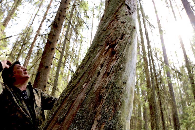 Vanha puu on pystyssä ja näyttäisi saaneen aikanaan osuman salamasta, veikkaa Jorma.