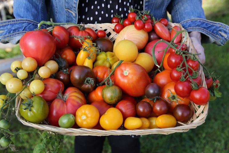 Tomaattilajikkeissa on valinnanvaraa. Tässä kuvassa on osa Sonja Lumpeen viime kesän tomaattisadosta.