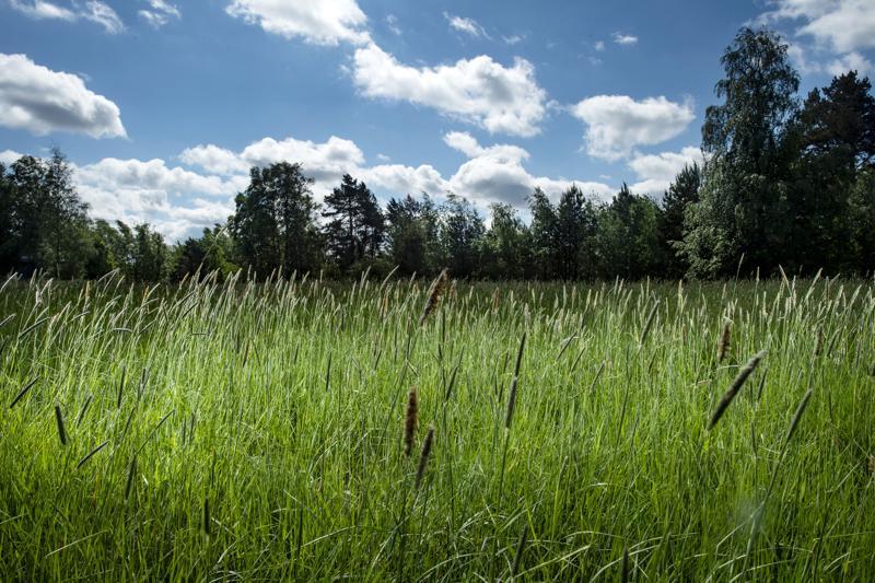 Suomessa on 40 allergisoivaa heinälajia, jotka kukkivat pitkin kesää.