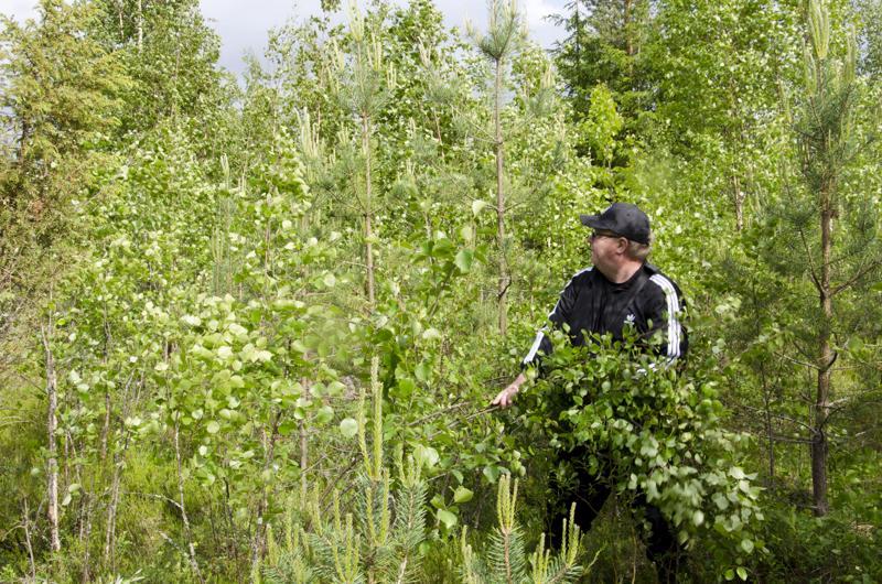 Koivuntaimien kasvu on voimakasta ja kun ne hakkaavat männyn oksia ja latvoja, harvennuksella ja taimikonpoistolla on jo kiire. Pahimmassa tapauksessa koivut tukahduttavat pienten männyntaimien kasvun.