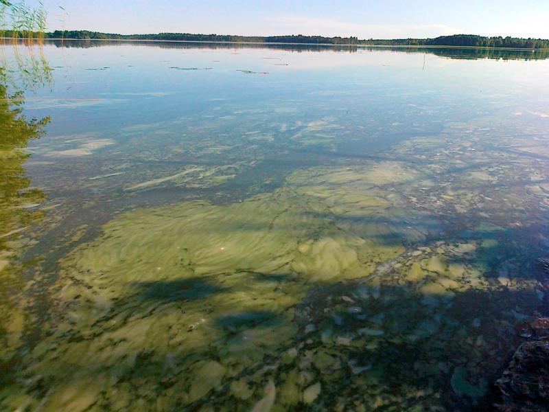 Suuret levämäärät värjäävät usein veden vihreäksi ja muodostavat paksuja leväkasautumia.