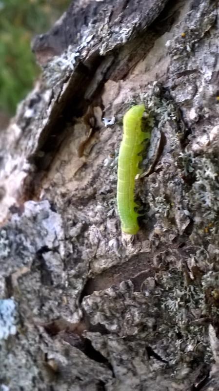 Lohtajalainen Tuomo Ruotsala nappasi kuvan mittarimadosta puussa.