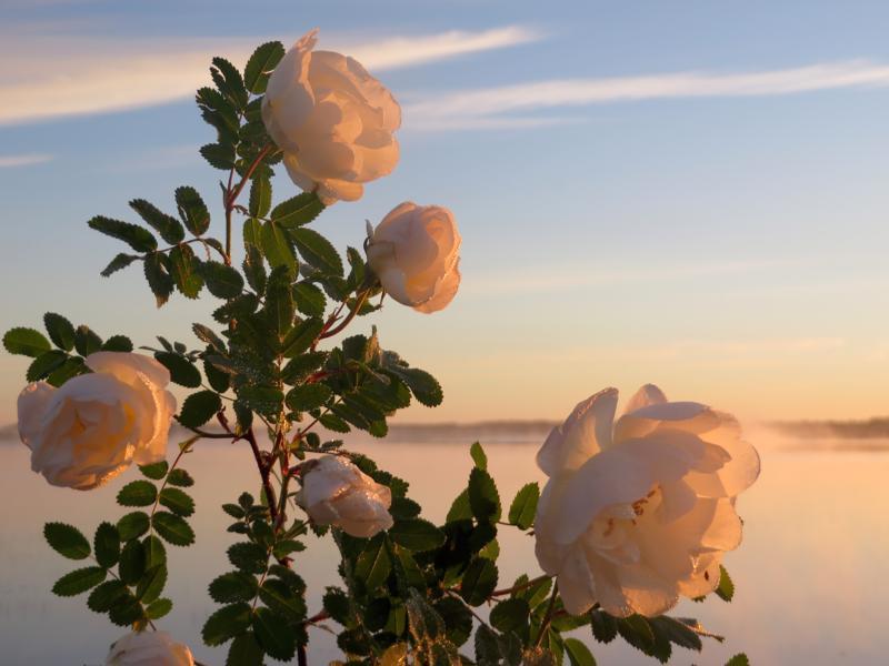 Kesäauringon ruusut Ullavassa.