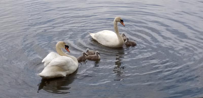 Kuuden poikasen joutsenperhe uiskenteli Kokkolassa.