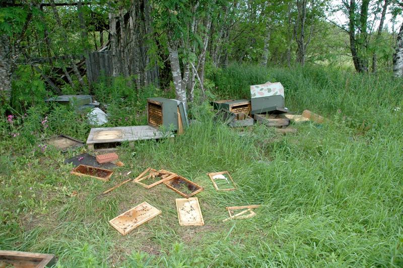 Karhu vieraili Timo Marjusaren mehiläistarhalla toissa viikolla. Tuhot huomattiin 14. kesäkuuta.