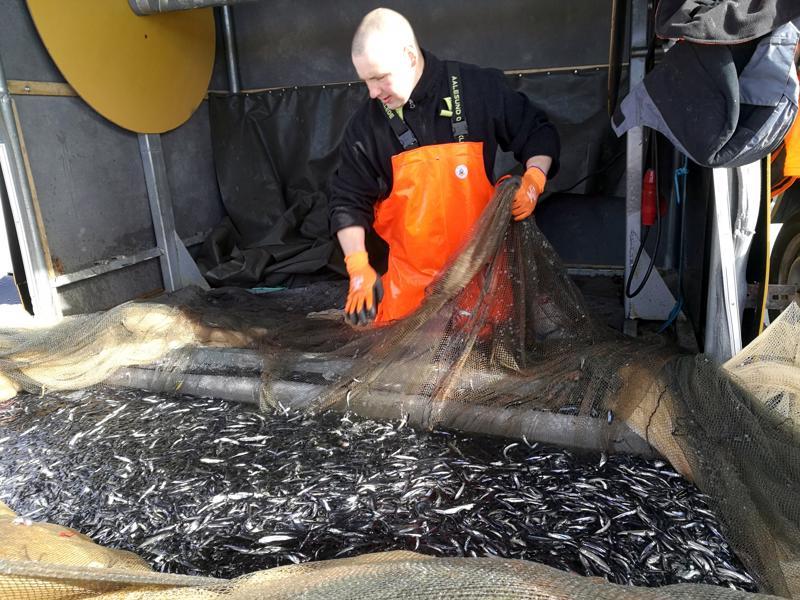 Pyhäjärven kalakannan hoito vaatii jatkuvia toimia. Talvinuottaus tuottaa parhaimmillaan muhkeita muikkusaaliita, kuten nivalalainen Hannes Saarimaa tässä toteaa.