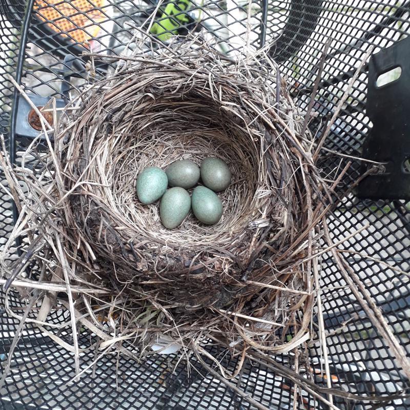 Pesään tupsahti kaikkiaan viisi munaa.