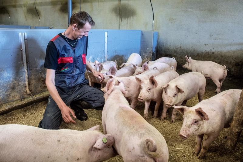 Lauri Juola nauttii työstään sikojen parissa. Siat ovat leikkisiä kavereita. Rapsutettavana reilun kolmen kuukauden ikäisiä kolmirotuporsaita.