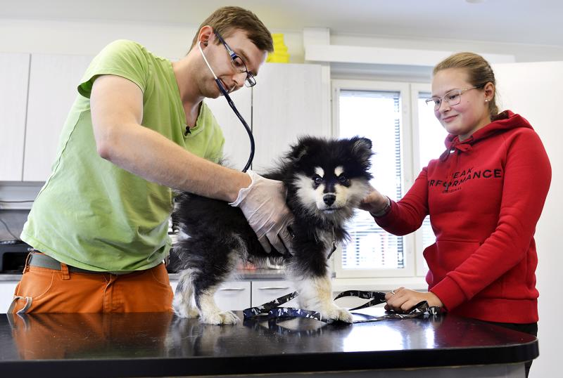 Kunnaneläinlääkäri Ilkka Ahola tutkii Viljo-pennun ennen rokotteen antoa. 12-viikkoista Viljoa ei suuremin eläinlääkärikäynti omistaja Jenni Keski-Petäjän mukaan jännittänyt.