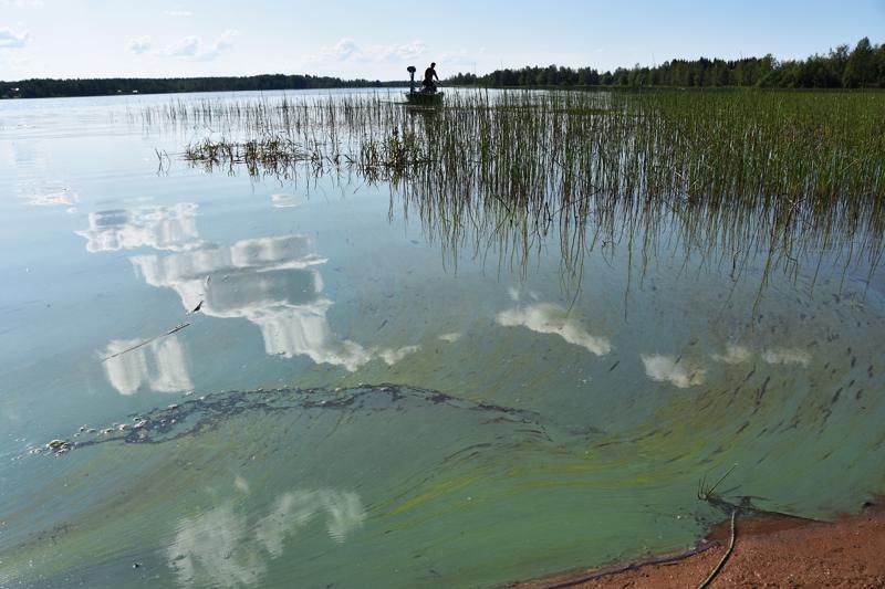Sinilevä nousi Vatjusjärvissä pintaan sunnuntaina. Isossa Vatjusjärvessä levätilanne on pahin, mutta myös Pienellä Vatjusjärvellä, niin sanotulla Kunnan rannalla sinilevää oli maanantaina aamupäivällä runsaasti.