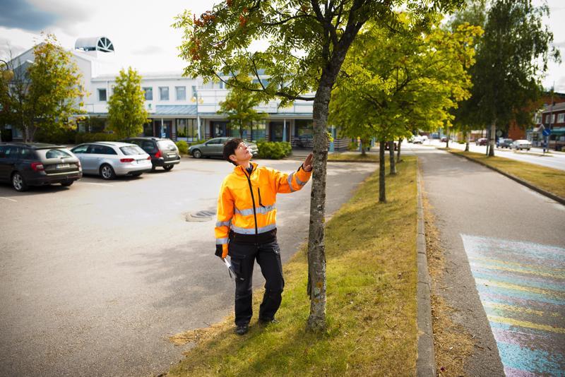 Torin reunalla olevat pihlajat kaadetaan toriremontin alkajaisiksi. Ulla-Maija Välikangas muistuttaa, että puut ovat muutenkin huonokuntoisia.
