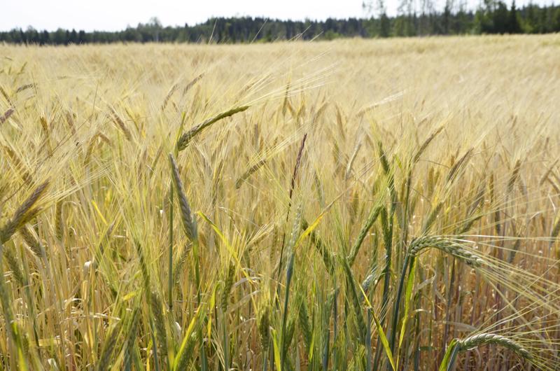 Pelloilla näkyy multaisemmat ja salaojitetut kohdat. Niiden kohdalla vilja on vielä vihreää.