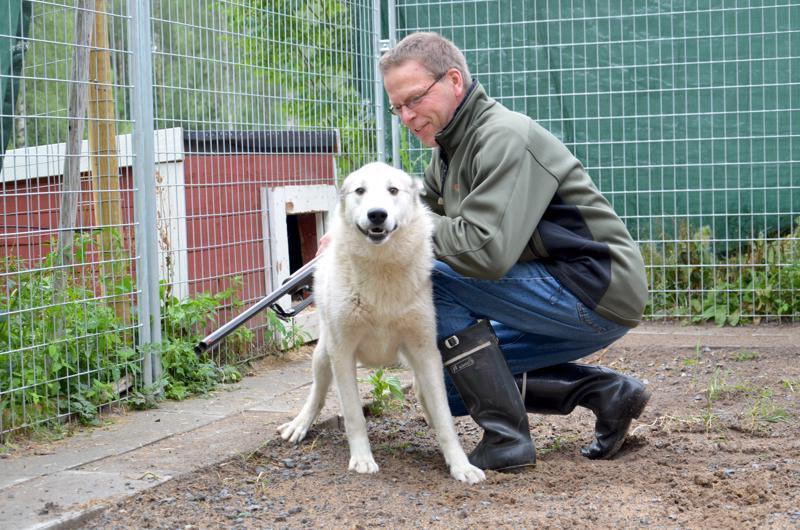 Juha Isokoski jututtamassa länsisiperianlaikkaa Etaa, joka on Minna Juntusen hyvä lintukoira. Koiran käyttöä on jouduttu rajoittamaan metsästyksessä, kun susien uhka on ajoittain tiivistynyt.