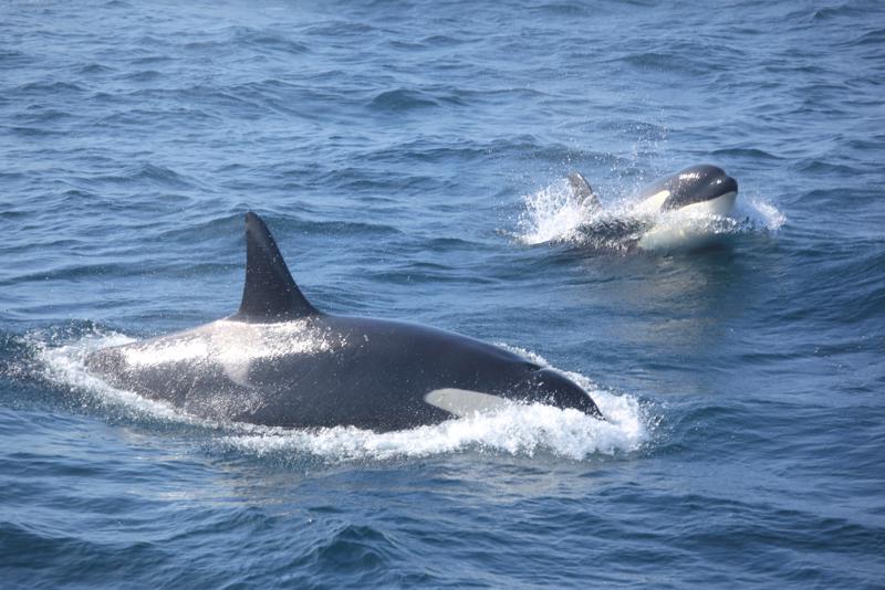 Miekkavalaiden perheyhteisössä vanhimman naaraan sana on laki. Se huolehtii myös lauman jälkikasvusta.
