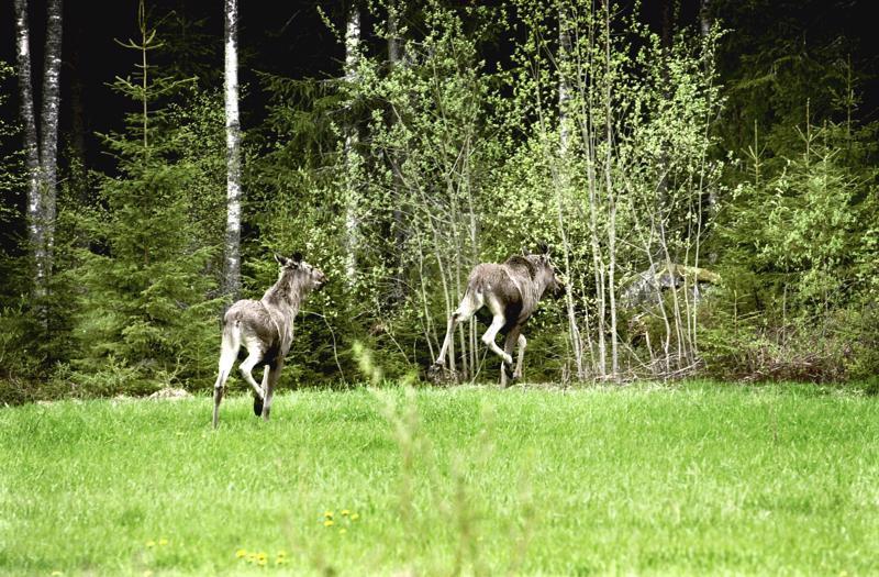Hirvenmetsästyskausi alkaa 12.10.