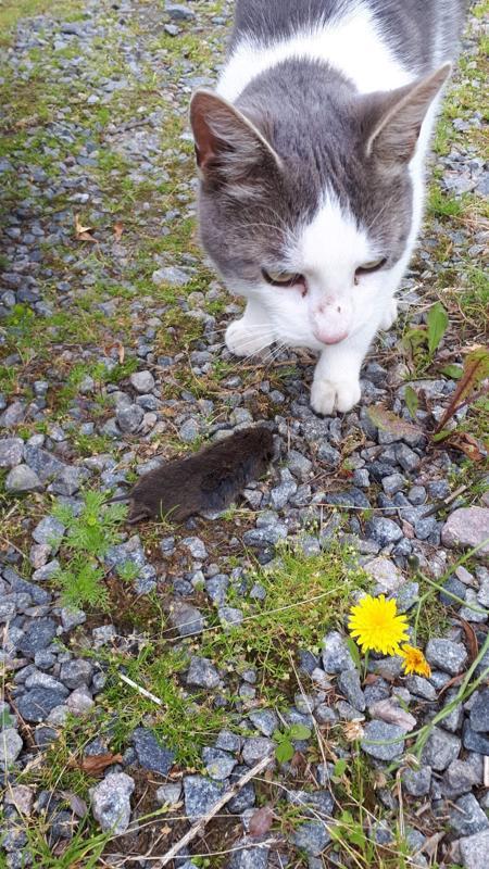 Simo oli nuori ja viriili poikakissa. Sisko Vähätiiton mukaan siitä olisi kehittynyt hyvä hiirikissa.