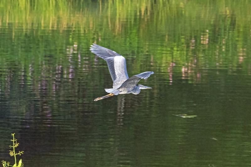 Lintu pitää lentäessään kaulaansa taivutettuna ja sen jalat ulottuvat pitkälle pyrstön taakse.