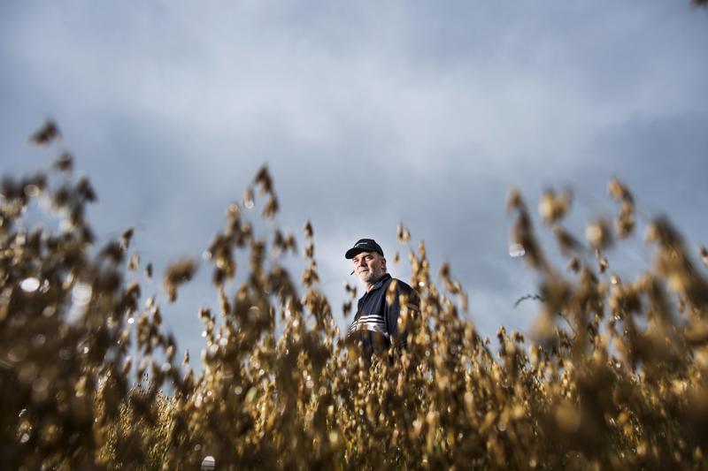 Elintarvikekaurasta näyttäisi olevan tulossa hyvälaatuinen sato. Luomukauraa viljelevä Ahti Hannula tasaisi kauran tuloa markkinoille sopimustuotantoa kehittämällä.