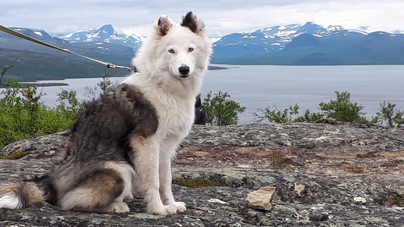 Ruben-koira Lapin reissulla.