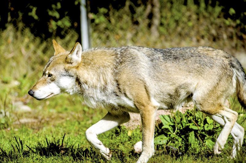 Ylivieskassa Kantokylän ja Tuomiperän välimaastossa nähtiin perjantaina susi talon pihalla aamupäivällä 10-11 aikoihin.