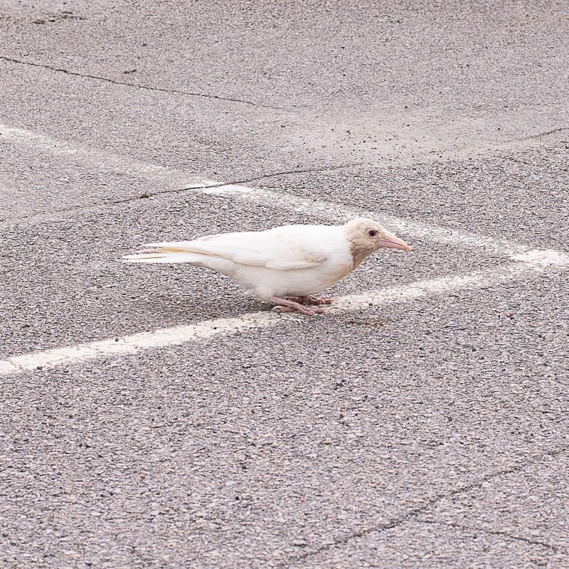 Haapajärvellä ihastellaan valkoista varista Blondia. Poikkeava väri tekee linnusta myös hyvän maalitaulun pedoille.