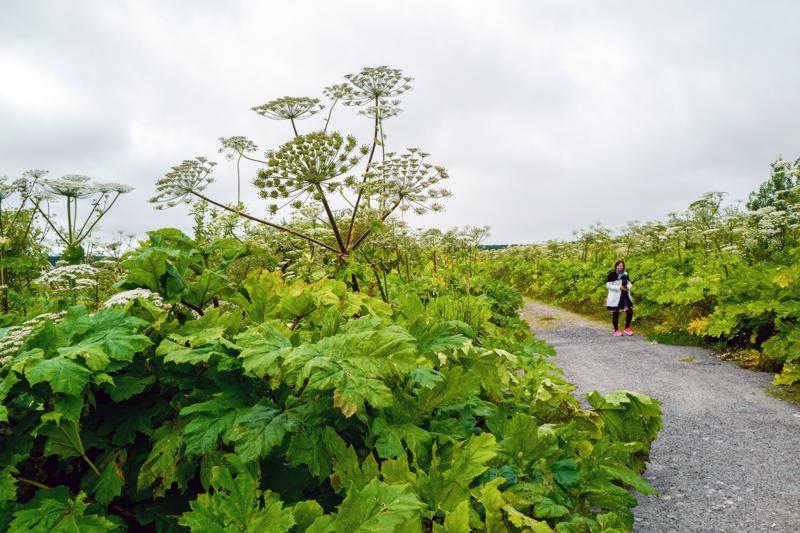 Teiden varsilla rehottavat jättiputket voivat kasvaa jopa viisi metriä korkeiksi.