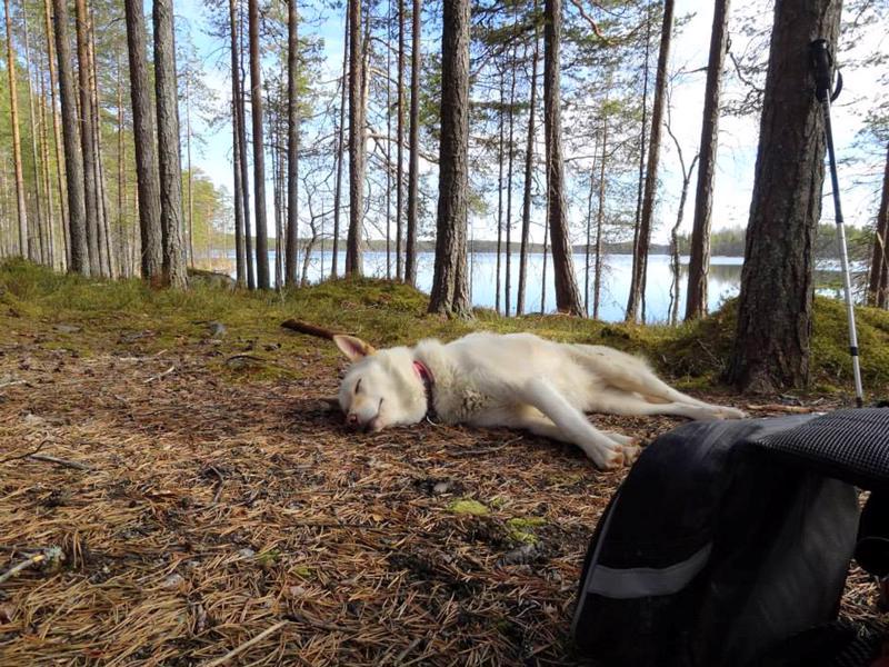Kuva on otettu Salamajärven kansallispuistossa. Koirakaveri vaikuttaa tyytyväiseltä oloonsa.