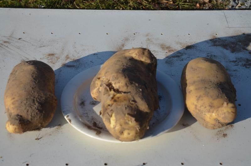 Yhdellä pärjää. Yhdellä perunalla varmasti päivän pärjäisi. Suurimmalla yksilöllä oli painoa 1326 grammaa. Lautasen vierellä olevat perunatkin painoivat 720 grammaa.