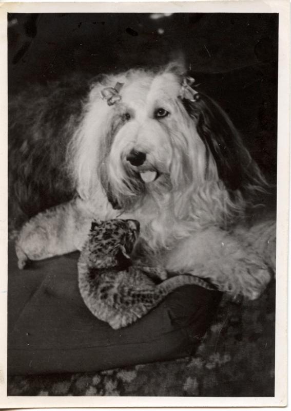 Tästä Maria Åkerblomin koiran karvoista tehtiin nilkkasukat Jukki Lindqvistille 1940-luvulla.