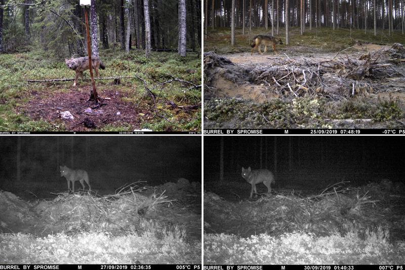 Kuvakooste Toni Peltoniemen riistakamerakuvista. Riistakamera sijaitsee Ullavassa noin kahden kilometrin päässä lammaslaitumesta, jossa susien uskotaan iskeneen lammaskatraaseen. Ensimmäinen kuva on syyskuun alusta, toinen 25.9., kolmas yöltä jolloin lampaat tapettiin ja viimeinen tämän viikon maanantaiyöltä.