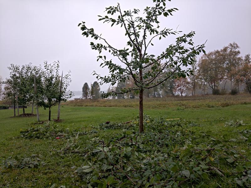 Jälkeen. Oksia lähti runsaasti. Aholan mielestä luumupuu oli villiintynyt runsaasta lannoituksesta, joten oksia oli saksittava runsaasti.