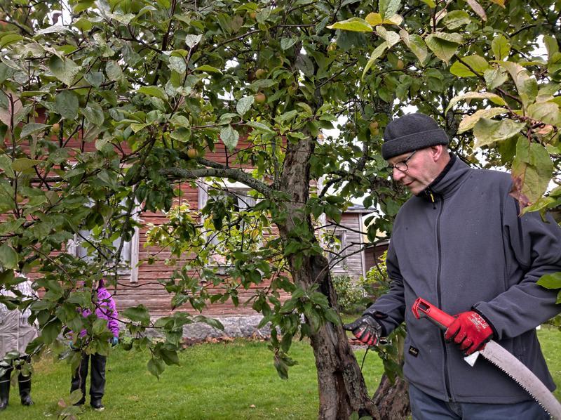 Puutarhuri Marko Ahola tutkii parasta paikkaa aloittaa karsiminen. Moottorisaha on hänen mielestään puutarhurin paras työväline, mutta terävä oksasahakin käy.