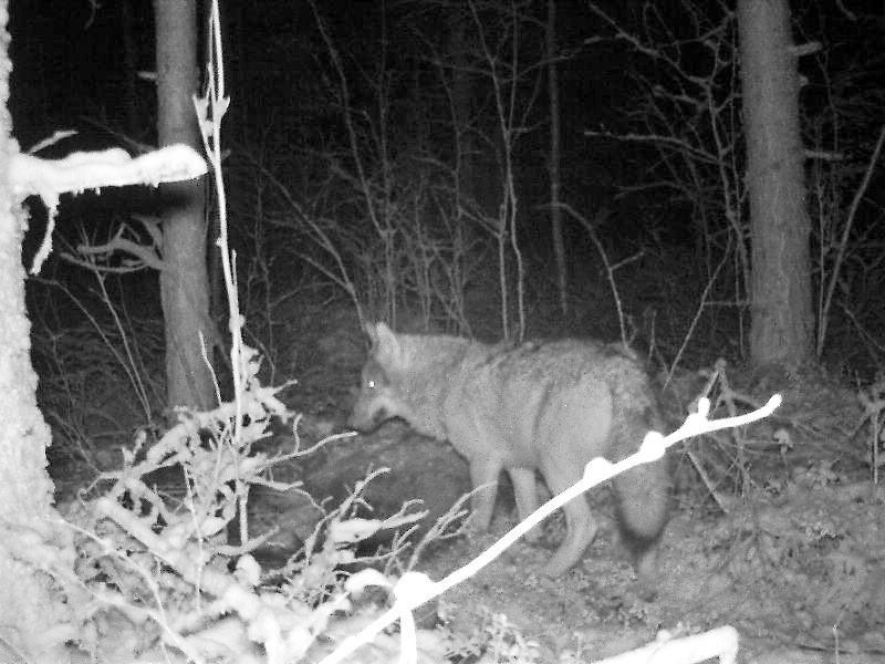 Jopa kolmeen Haapaveden alueella liikkuvaan susilaumaan arvellaan syntyneen pentuja viime keväänä. Arkistokuvassa susi haaskalla.