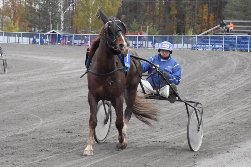 Reino Salmelan Sillankorvan Ari on aloittanut kilpailu-uransa hienosti. Nikulassa ori juoksi kolmannen voittonsa kolmannessa startissaan.