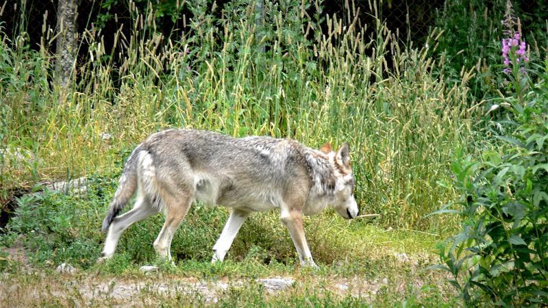 Kalajokilaakson verkossa luetuin juttu tällä viikolla koski Jokilaaksojen susia ja metsästyskoiria.
