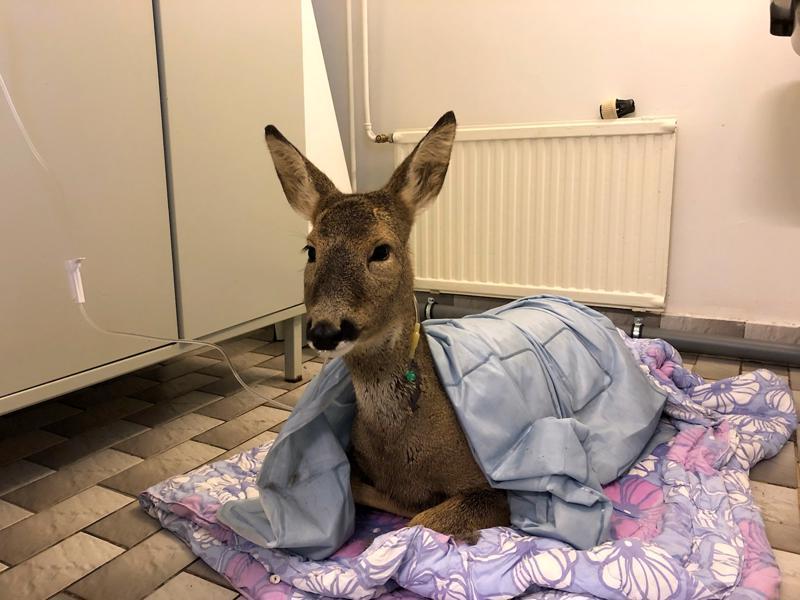 Nivalassa Malisjoesta pyhäinpäivänä pelastettu kauris pääsi eläinlääkäri Petra Aitto-ojan vastaanotolle lämmittelemään. Samalla eläimelle annettiin lämmintä nestettä suonensisäisesti.