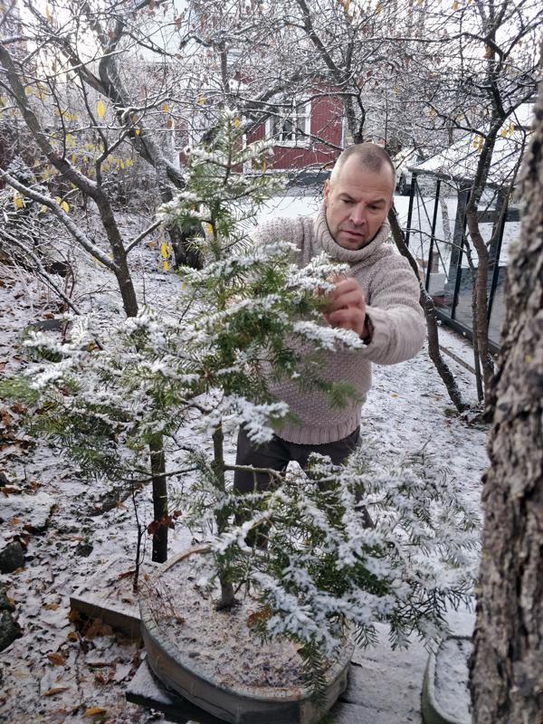 Mika Lehtinen tarkistaa bonsaiksi muodonmuutoksen tehneen kuusen vointia; hyvältä näyttää tässä vaiheessa vuotta.