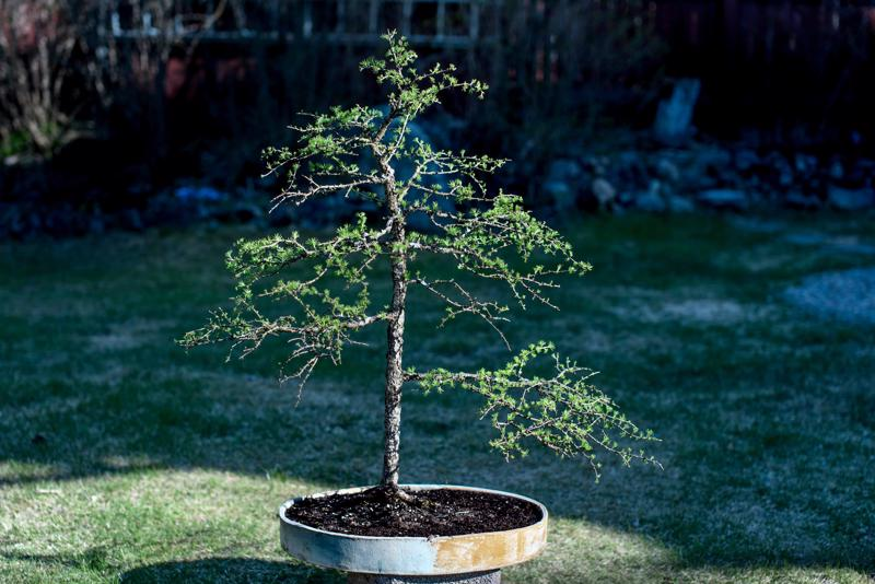Lehtikuusi-bonsai kesäasussaan. Bonsain kasvatus vaatii pitkää pinnaa ja malttia; kuvan lehtikuusi on jo - tai vasta - viisitoista vuotias.