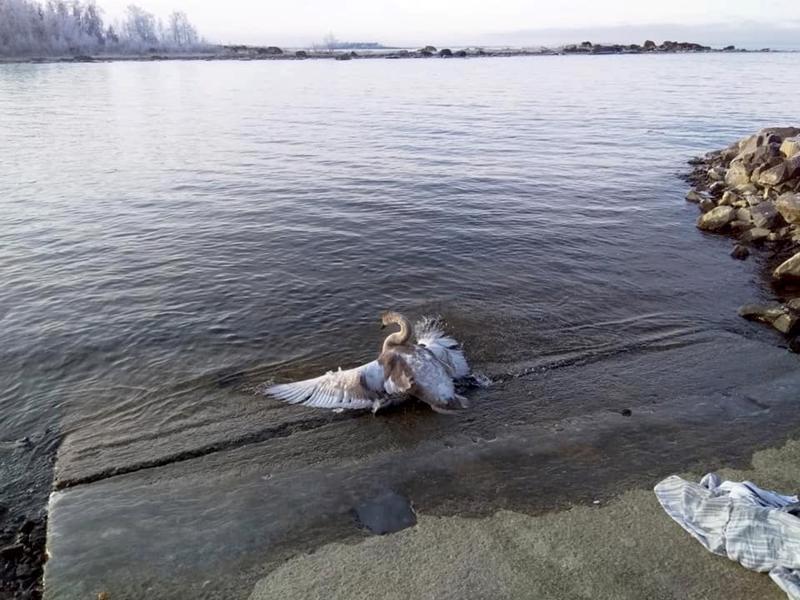 Joutsen päästettiin Trulleviin sulaan veteen pulikoimaan.
